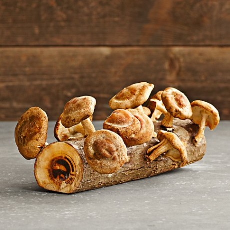 williams sonoma mushroom log