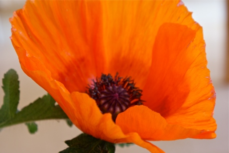 A poppy from my garden
