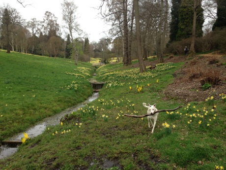 The glorious daffodil fields at Virginia Water...with a rather wet Lola the dog & her stick!
