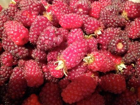 Freshly plucked tayberries